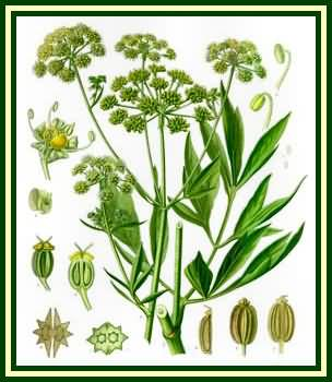 how to make lovage oil