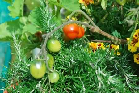 holly's tomatoes