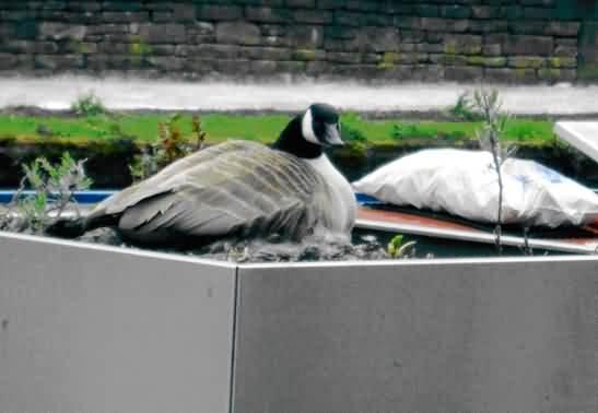 Growing geese in planters, nest with eggs