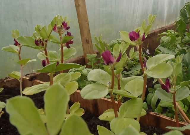 scarlette broad beans