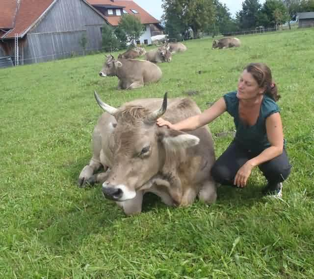 Brown Swiss Cow With Horns