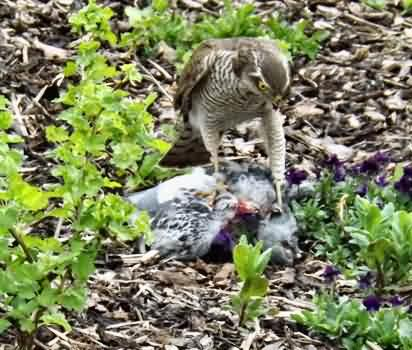 Sparrow hawk and pigeon