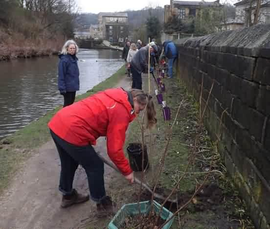 planting currant bushes along the tow path