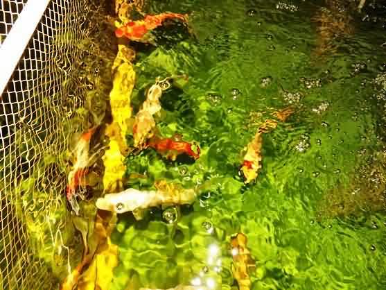 the ornamental koi are fascinated by the tilapia
