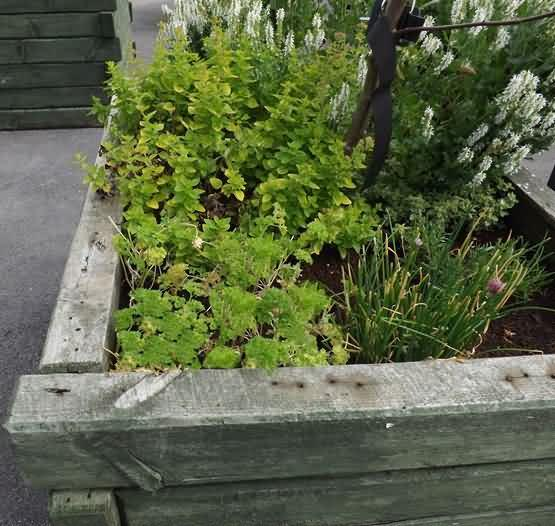 Parsley by the market hall