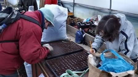sowing chard