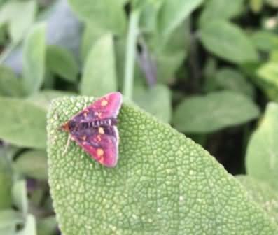 Mint moth on sage